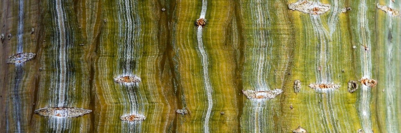 Acer davidii (Père David's Maple)