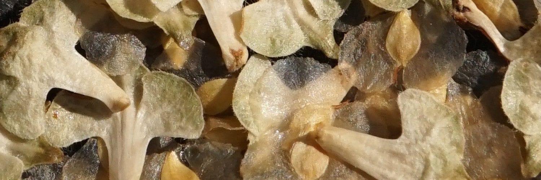 Betula pendula f. youngii (Form of Silver Birch)