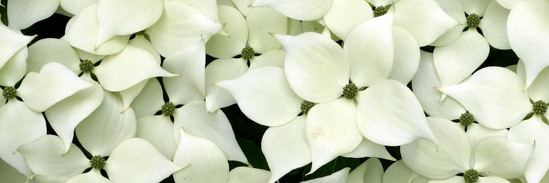 Cornus kousa buerg. ex hance (Hybrid of Kousa Dogwood)