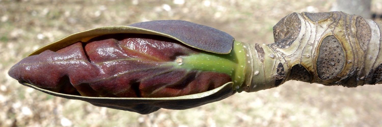 Magnolia officinalis (Houpu Magnolia)