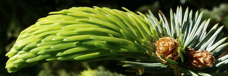 Picea jezoensis (Jezo Spruce)