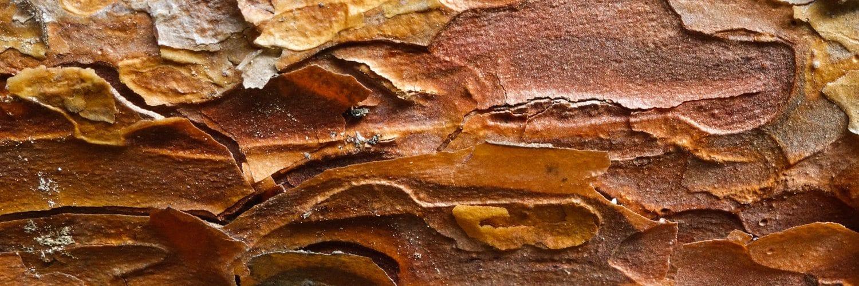 Pinus densiflora (Japanese Red Pine)