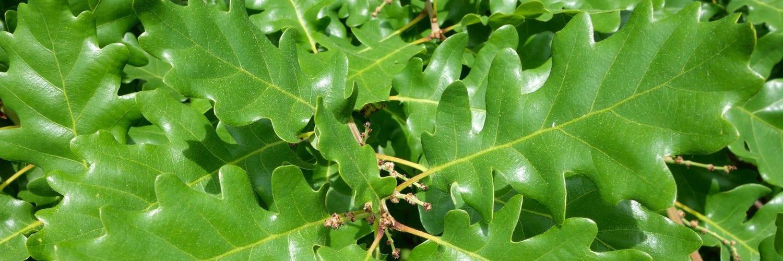 Quercus petraea (Sessile Oak)